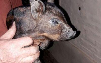 Cerdo Criollo Costero: una raza autóctona que hay que estudiar