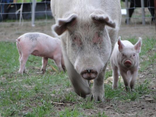 Porcinos: un sector en pleno auge con grandes oportunidades