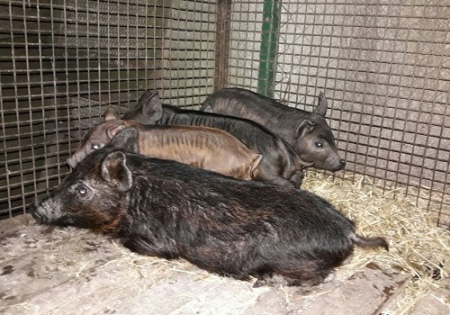 Cerdo criollo costero: una raza autóctona con atributos esenciales