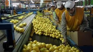 La primera exportación de limones a India se concretó