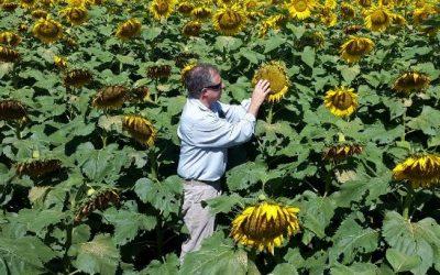 Estimular desde la semilla para que el girasol brille