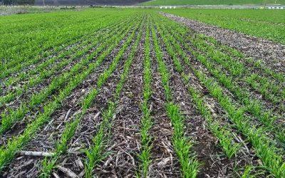Trigo: con más del 90% del área implantada, el cereal ingresa en la etapa final de siembra