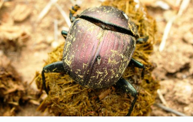 Cómo establecer escarabajos de estiércol  en pasturas