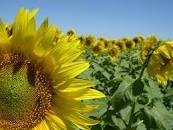 Comenzó la siembra de girasol con una proyección de área de 1,65 millones de hectáreas