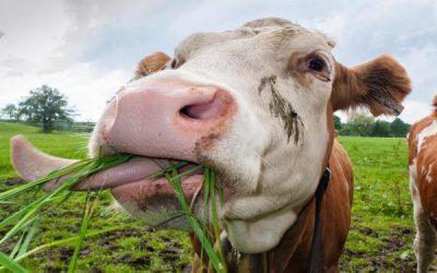 Calentamiento global: qué culpa tiene la vaca y la importancia de los sistemas pastoriles