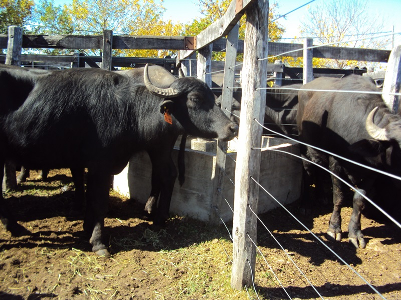 Descubren un virus de búfalos que contagia a vacas