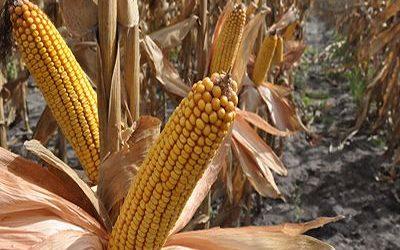 El valor de la cosecha de soja y maíz es récord y el Gobierno recaudaría $ 683.993 millones por retenciones