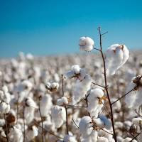Autorizan la comercialización de semilla de algodón en Clase Identificada para la campaña 2019/20