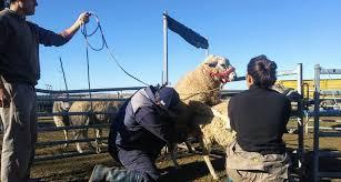 Provincia: Más de 80 millones de pesos en 70 municipios para impulsar la actividad ovina y generar empleo genuino