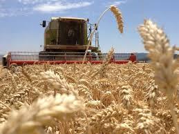 En agosto las declaraciones juradas de ventas al exterior de trigo alcanzaron casi dos millones de toneladas