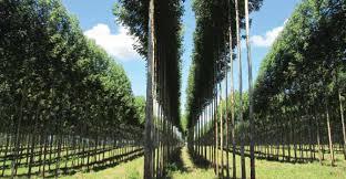 Plantaciones en el Valle Bonaerense de Río Colorado