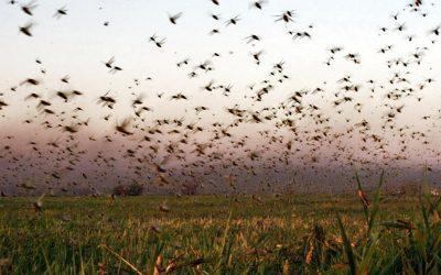 Una investigación expone las causas de las mangas de langostas que afectan a la Argentina