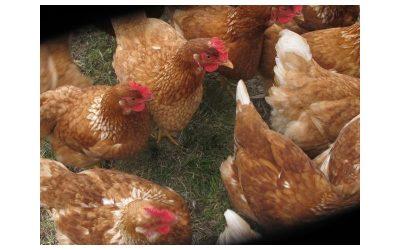 Diferencias entre pollo orgánico y pastoril