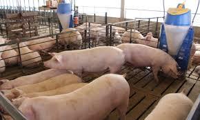 El mercado mundial de cerdos se reacomoda por la peste porcina africana