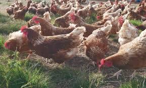 Carrefour ofrece huevos de gallinas libres de jaula bajo su línea Huella Natural