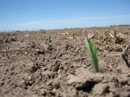 Las lluvias impulsaron la siembra de maíz en el este del país
