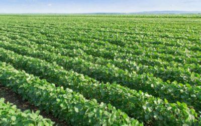 Uruguay podría ser el segundo proveedor de soja no transgénica para consumo humano de China