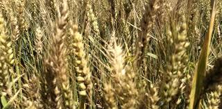 Nueva estimación productiva del trigo 2019-2020: 18,8 millones de toneladas