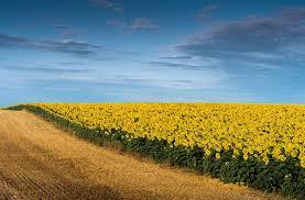 Las ajustadas reservas hídricas recortan la estimación de siembra de girasol y maíz