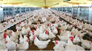 Fuerte crecimiento de la avicultura argentina