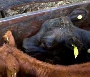 Determinaron los requisitos para habilitar la comercialización de dispositivos de identificación electrónica de animales