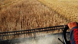 Buenas condiciones climáticas permitieron iniciar cosecha de cebada al norte del área implantada