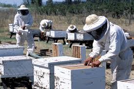Apicultores mesopotámicos ocupados en El Mal del Río (MDR), mal que afecta a las colmenas de esta zona
