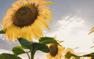 El primer lote de girasol de la cosecha 2019-2020 rindió 4200  kilos por hectárea