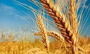 Se espera excelente campaña de trigo, según la Bolsa de Cereales porteña