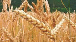 ¿Cuál es la problemática detrás de la sanidad del trigo?