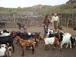Se busca afianzar el desarrollo de la producción caprina en Mendoza