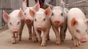Se lanzó CerdoCast: un nuevo canal de comunicación para unir a los principales referentes de la industria porcina de la región