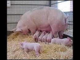 """""""Resultados económicos en la producción de cerdos"""""""