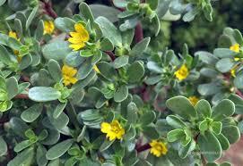 Verdolaga, una planta que no vale nada y sirve para todo
