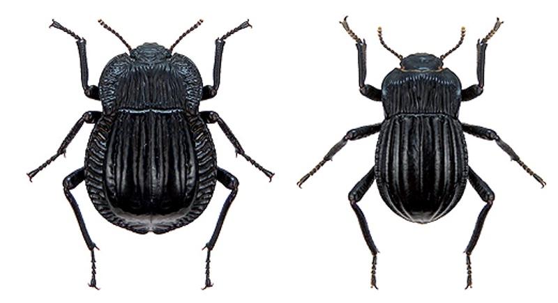 En Santa Cruz, usan escarabajos como indicadores de servicios ecosistémicos