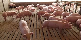 Empresas chinas productoras de cerdo podrían invertir USD 27.000 millones en Argentina