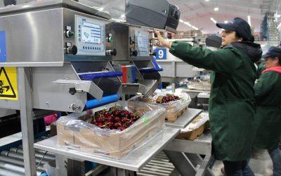 Neuquén ya exportó más de 900 toneladas de cerezas y su principal destino fue China