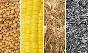 Granos gruesos: cobra impulso la siembra de soja mientras que el  maíz va por la implantación tardía