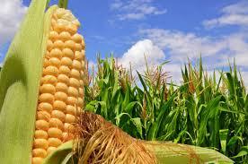 Las lluvias recientes afirman una supercampaña de 49 millones de toneladas para el maíz 2019-2020