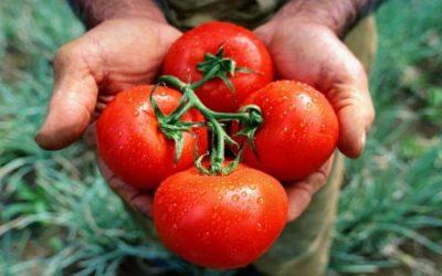 Los tomates de la nueva generación: frescos, inocuos y 4.0