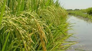 Entre Ríos espera la menor área cultivada de arroz de los últimos 20 años