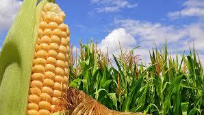 Inició la cosecha de maíz con rindes superiores al promedio