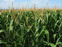 Informe: Cuánto se necesita para cubrir costos del maíz de segunda