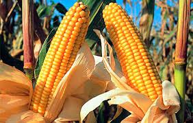 El maíz sudamericano volverá a dominar el comercio internacional en 2019-2020