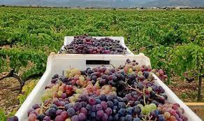 Denuncian que no hay precio para la uva