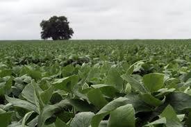 Las lluvias no fueron suficientes en la región núcleo y la soja de segunda sufre