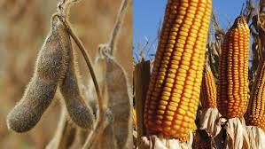 Mercado de granos local profundiza las bajas en soja y maíz  disponibles, ante cercanía de cosecha