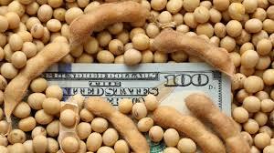 La soja en el mercado local cayó en línea con los precios del mercado de referencia