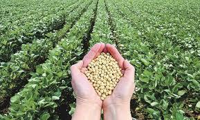 Ausencia de lluvias y altas temperaturas comprometen rindes de soja 2019-2020