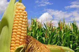Con 15 millones de toneladas, el maíz será récord en la región núcleo